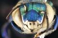 Картинка insect, head, male, compound eye, funiculus, Euglossa Dilemma