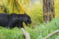 Картинка кошка, трава, чёрный, ягуар, ©Tambako The Jaguar