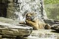 Картинка дикая кошка, морда, лапа, хищник, умывание, тигр