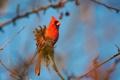 Картинка птица, небо, ветка, перья, кардинал