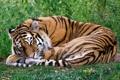 Картинка тигр, спит, лежит, свернулся калачиком