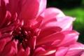 Картинка цветок, макро, розовый, лепестки, георгина
