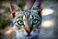Картинка кошка, кот, мордочка, зеленые глаза