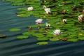 Картинка кувшинки, пруд, вода, нимфеи, водяные лилии