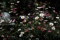 Картинка поле, природа, краски, лепестки, ромашка, луг