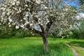 Картинка лето, природа, яблоня