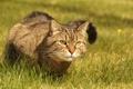 Картинка трава, кот, взгляд, ошейник, сидит, смотрит