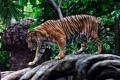 Картинка полоски, тигр, хищник, профиль, прогулка, дикая кошка