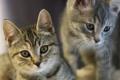 Картинка животные, усы, взгляд, котята, ушки