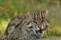 Картинка дикая кошка, Fishing cat, кошка-рыболов, хищник, © Anne-Marie Kalus