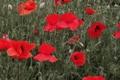 Картинка поле, трава, природа, маки, лепестки, луг