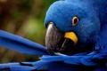 Картинка перья, попугай, чистит, blue feathers
