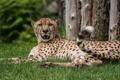 Картинка отдых, хищник, гепард, клыки, лежит, дикая кошка