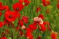 Картинка цветы, трава, маки
