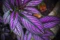 Картинка листья, макро, краски, растение, Колеус Блюме