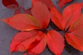 Картинка осень, листья, вода, багрянец