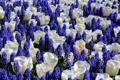 Картинка белый, цветы, тюльпаны, мышиный гиацинт