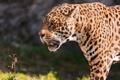 Картинка хищник, ягуар, травинка