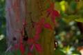 Картинка осень, листья, растение, столб, плющ