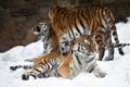 Картинка амурский, снег, тигр, кошка