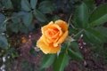 Картинка листья, роза, куст, лепестки