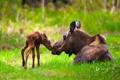 Картинка лес, трава, USA, США, Alaska, лось, Moose