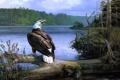 Картинка лес, деревья, река, орел, бревно