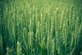 Картинка колосья, трава, макро