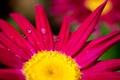 Картинка капли, макро, цветы, яркий, роса, фон, розовый