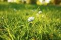 Картинка макро, зелень, трава, ромашка