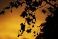 Картинка листья, закат, природа, силуэт