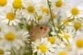 Картинка мышка, ромашки, цветы