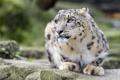 Картинка кошка, ирбис, снежный барс, ©Tambako The Jaguar