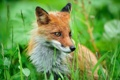 Картинка трава, лис, Fox