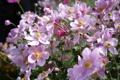 Картинка цветы, розовые, солнечно, анемоны, anemone