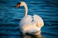 Картинка грация, лебедь, белый, вода, волны