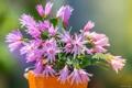Картинка Шлюмбергера, цветение, кактус, цветки