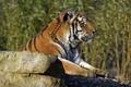 Картинка кошка, тигр, камень, профиль, амурский