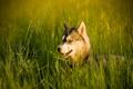 Картинка поле, лето, собака