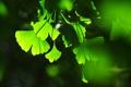 Картинка листья, фон, игра, тени, зелёные, света