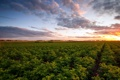 Картинка закат, пейзаж, поле, картошка