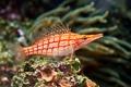 Картинка красные, red, подводный мир, тропический, underwater, tropical, coral