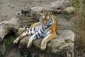 Картинка кошка, тигр, отдых, камень, бревно, амурский