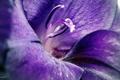 Картинка цветение, весна, фиолетовый, цветы