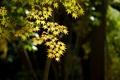 Картинка листья, свет, дерево, фокус, клен, волнце