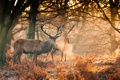 Картинка осень, лес, солнце, свет, рога, олени