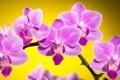 Картинка цветы, желтый, фон, розовые, орхидеи