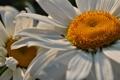 Картинка цветы, ромашки, растения, ромашка