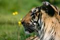 Картинка морда, тигр, хищник, профиль