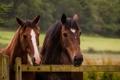 Картинка морда, кони, ограда, лошади, пара, загон